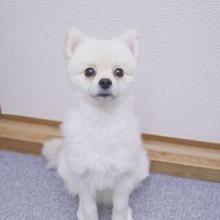 子犬のポメラニアンです。