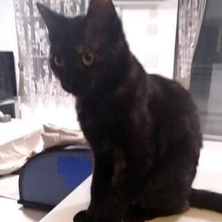 【ありがとうございました里親さん決まりました】8か月位の黒猫のメ...
