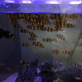 海水魚 自家繁殖カクレクマノミ2匹セット - 西尾市