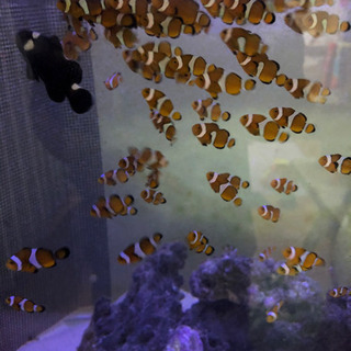 海水魚 自家繁殖カクレクマノミ2匹セット - その他