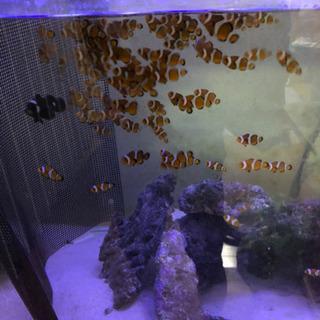 海水魚 自家繁殖カクレクマノミ2匹セット - 売ります・あげます
