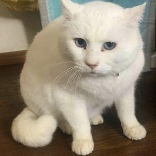 ゆったり穏やかなブルーアイの白猫君