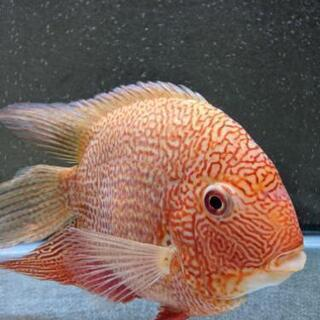 レッドスポットゴールデンセベラム成魚(雄)。