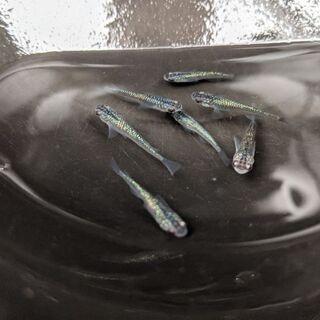 🐦サファイアめだか 成魚1ペア