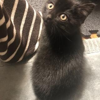 [募集停止][急募]生後2ヶ月の子猫の里親さん