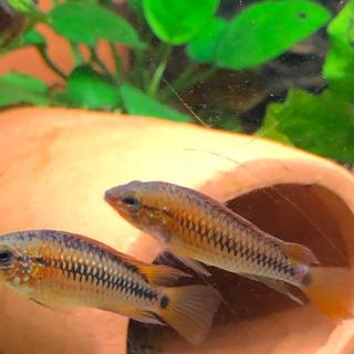 アピストヴィエジタスーパーレッド 幼魚