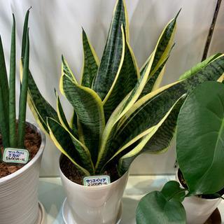 最終値下げ1900円 サンスベリア  観葉植物