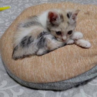 【決まりました】子猫 メス 里親募集
