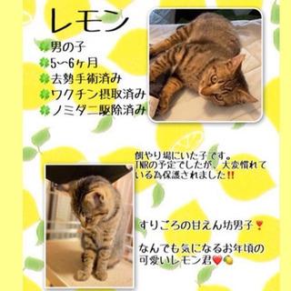 5~6ヶ月のきじ猫男子レモン君(3/14の譲渡会に参加します❣️)