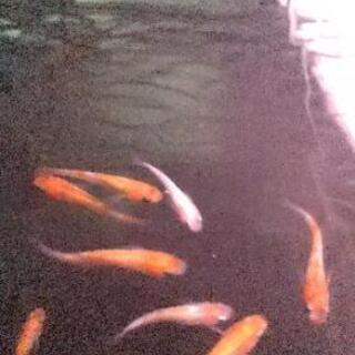 三色極ラメ(月華)の選別漏れ1匹300円