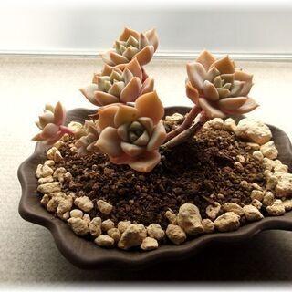 【盆栽仕立ての多肉植物】グラプトベリア属『白牡丹』◝(⑅•…