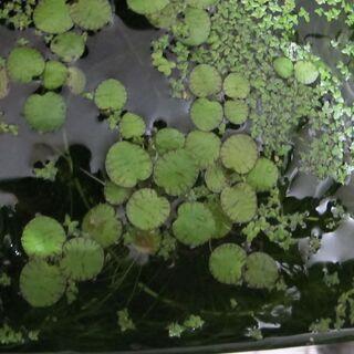 水草・浮き草 🍀🍀 ①
