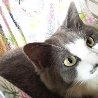 美人な8ヶ月の猫ちゃんです