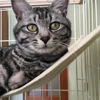飼い主が亡くなった、1歳8ヶ月雄猫(去勢済)の里親を探しています。