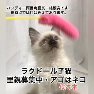 ラグドール 子猫  ●●●●●本文をよくご覧下さいませ。 …