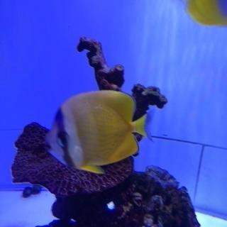 ミゾレチョウチョウウオ インド洋型 海水魚