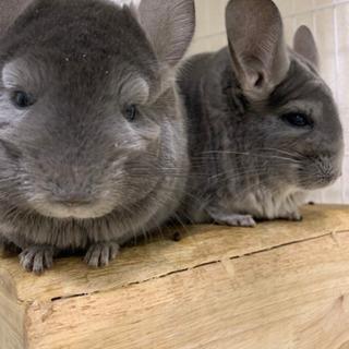 チンチラ バイオレット 双子