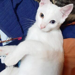 【急遽募集】めずらしいオッドアイの子ネコ♂【謝礼あり】