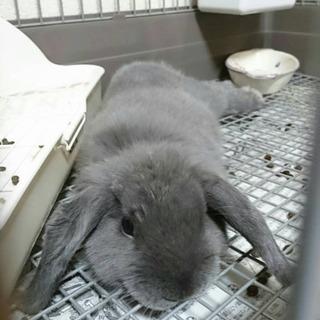 ホーランド ウサギ里親さん探してます!
