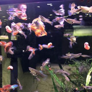 【熱帯魚】国産オレンジタイガーグッピー ワンペア−