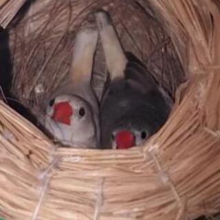 錦花鳥(キンカチョウ)オスメス、ペア 里親募集