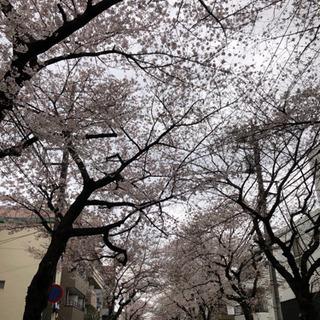 サクラ並木の桜が満開です!