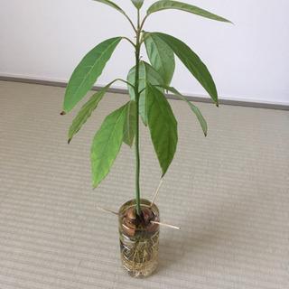 アボカド① 苗 観葉植物 水耕栽培
