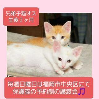 毎週日曜日は福岡市中央区にて保護猫の予約制の譲渡会🎵兄弟子猫
