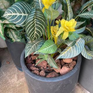 中古観葉植物譲ります。
