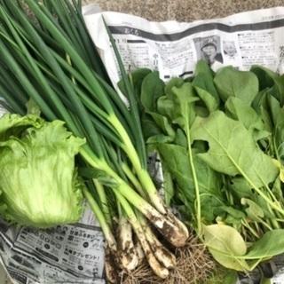 今日、収穫した野菜の画像