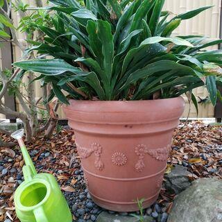 オモト約20株の鉢植え