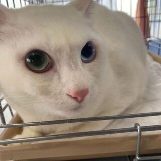 推定5歳位 オッドアイの白猫くん【4/4(日曜日) 🌟譲渡会🌟】