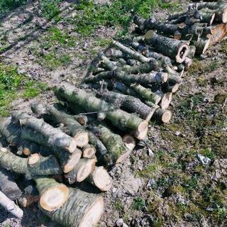 さくらんぼの木、キャンプなどにどうぞ(*^^*)の画像