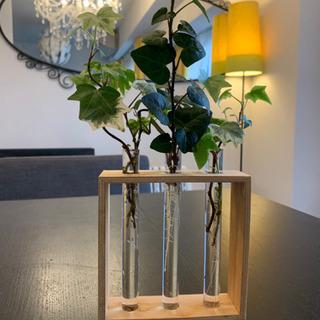 2種類のアイビー 抜き苗 観葉植物