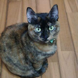 お目目がパッチリの美人猫さん『ティティ』