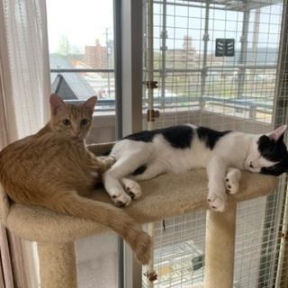 生後5ヶ月〜6ヶ月の兄弟猫ちゃん - 猫