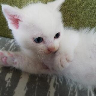 オッドアイ♂白猫1ヵ月 譲渡が決まりました皆様ありがとうございました
