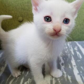 譲渡が決定しました、ありがとうごさいました。オッドアイ♀️白猫1...