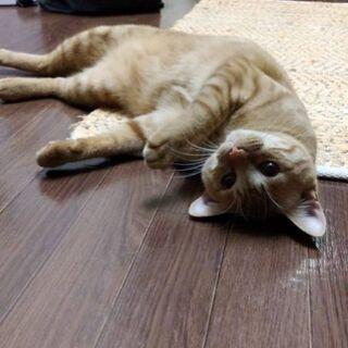 生後9ヶ月位 人も猫も大好きな茶トラくん【4/25(日曜日) 🌟譲渡会🌟】 - 猫