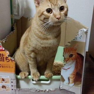 生後9ヶ月位 人も猫も大好きな茶トラくん【4/25(日曜日) 🌟譲渡会🌟】 - 久留米市