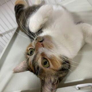 推定2~3歳位 人懐っこく人が大好きなジェニファー【4/25(日曜日) 🌟譲渡会🌟】 - 猫