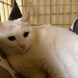 推定2~3歳 美人な白猫アルちゃん【4/18(日曜日) 🌟…