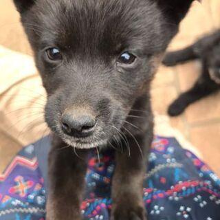 黒の仔犬で、短毛と長毛の姉妹の里親募集