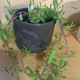 【ネット決済】多肉植物   ルビーネックレス