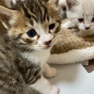 里親募集!元気いっぱいな女の子(生後1ヶ月)※応募者多数のため受付一時停止 - 猫