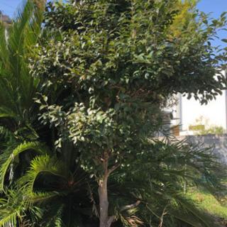 庭木 サザンカ 植物