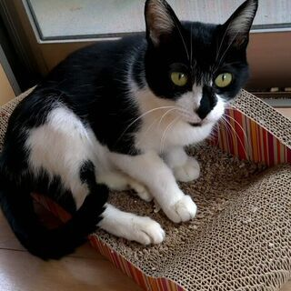 保護猫 白黒メス成猫