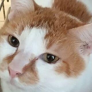 抱っこ大好き白茶チロ坊2才 兄弟猫と2匹で