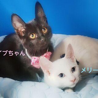 青い目の白猫☆キュートな黒ちゃん