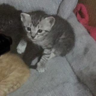 サバトラ生後1ヶ月オス猫ちゃん